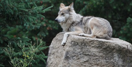 EarthTalkGrayWolves
